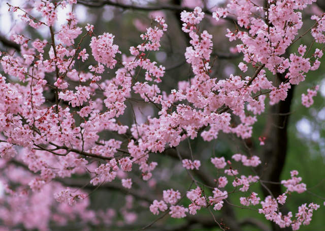 cerezos-japon-arbol-de-jakura