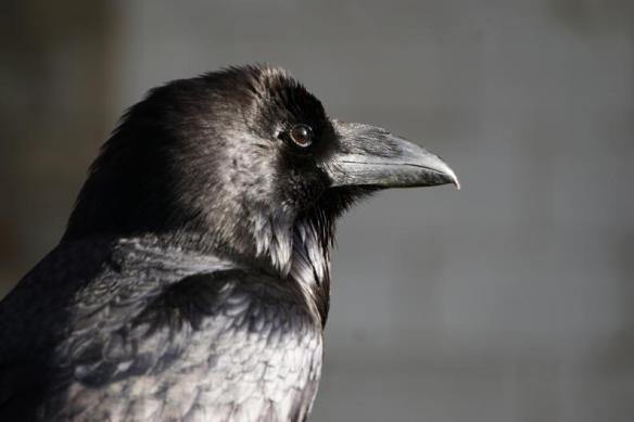 cuervo-londres