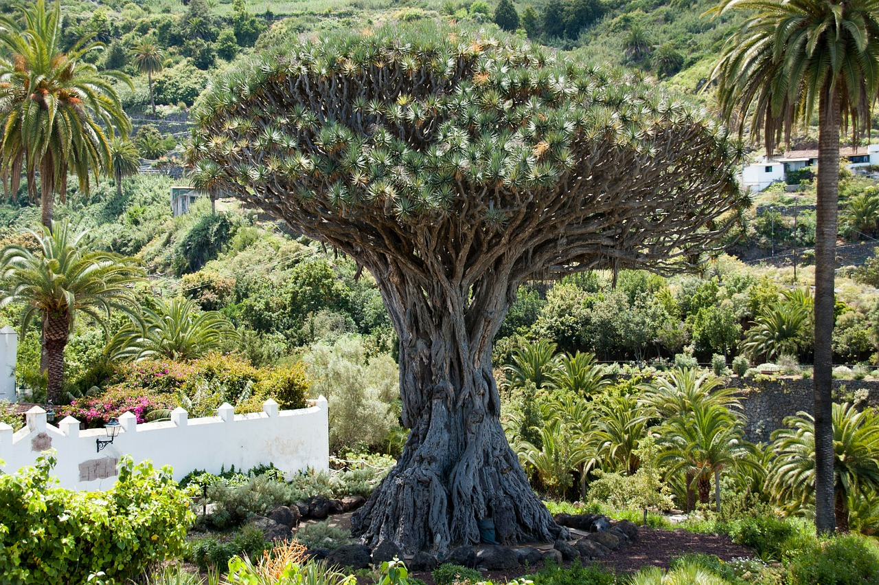 dragon-tree-347596_1280