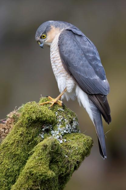Eurasian_Sparrowhawk_by_Steve_Ward