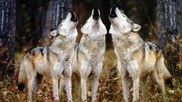 foto-de-lobos-aullando