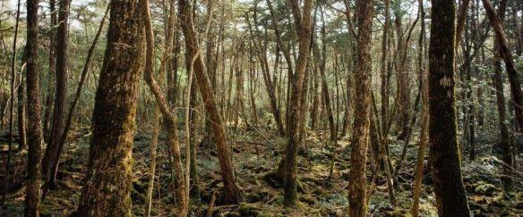 Bosque-de-los-suicidas-de-Japón-1